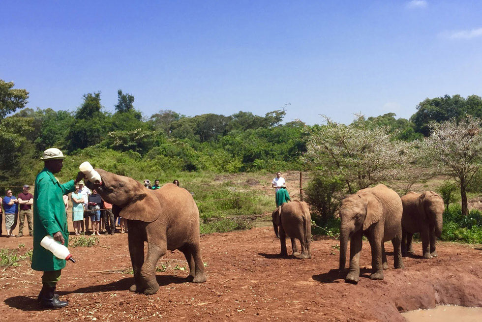 Питомник для слонят-сирот еще в тридцатых годах организовал Дэвид Шелдрик
