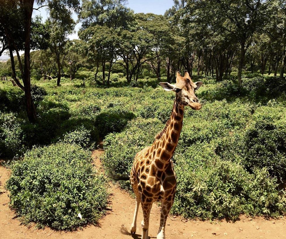 В Найроби, вернее его окрестностях, есть отель Giraffe mаnor.